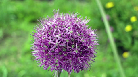 onion giant flower Footage