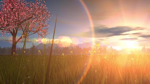 Spring landscape image, cherry blossom tree, sunset Animation