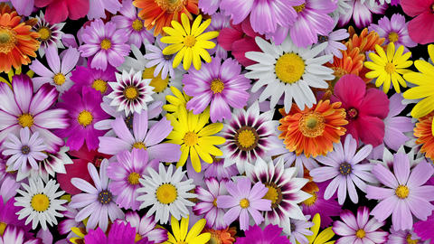 Flowers spread all over, black background Animation
