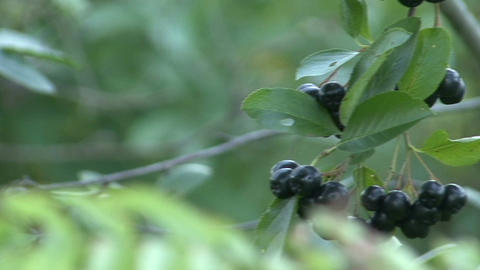 Aronia, chokeberry, on the green branches Footage