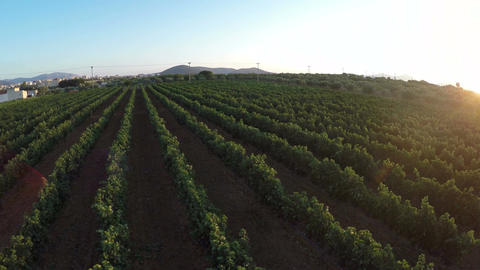 Vineyard at Sunset (2) Footage