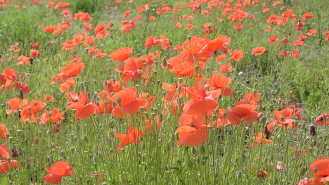 red poppies Footage