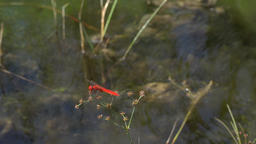 Bright red dragonfly on a very shaky plant coming and going, slow motion Footage