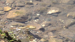 Small brown frog jumps away slow motion Footage
