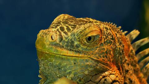 1080p Green Iguana Close-Up Footage