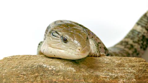 1080p Eastern Blue-Tongued Lizard Footage