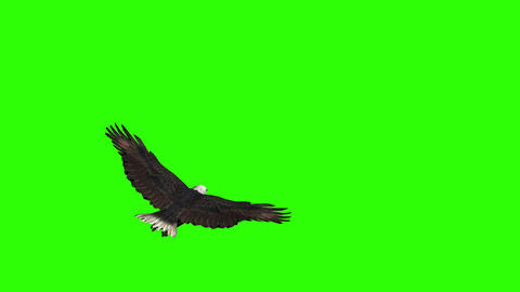 Eagle Spread its Wings and Flies Live Action