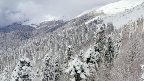 Drone view from bird above winter mountain covered snowy forest. Span close between two fir trees. Live Action