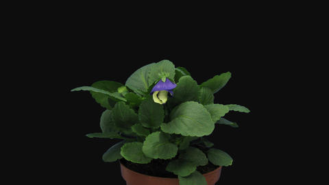 Time-lapse of opening white and purple Pansy flower with ALPHA channel Live Action