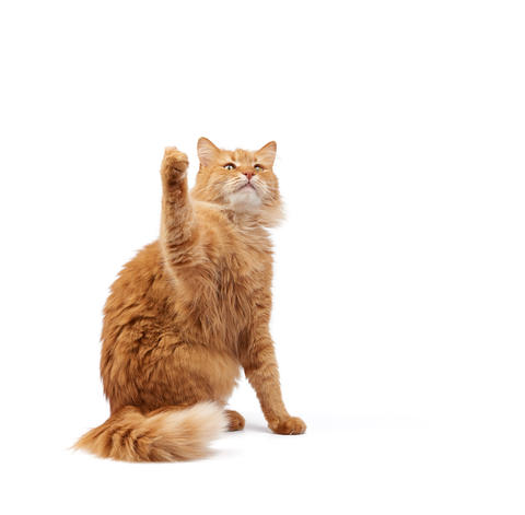 Cute adult fluffy red cat sitting and raised its front paws up Fotografía