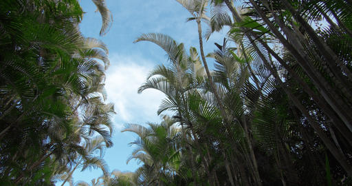 Picture of bamboo forest. View on the windy bamboo forest, clear sky, and the Live Action