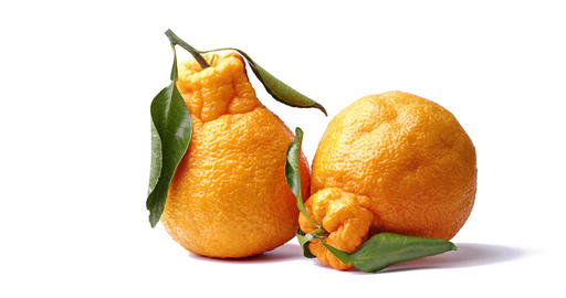This is a fruit called Dekopon Live Action
