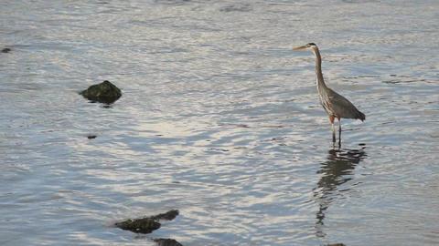 Wild Blue Heron Hunts in Yaquina Bay Animal Wildlife Pacific Ocean West Coast Footage