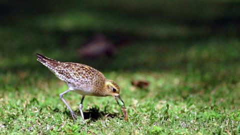 American Golden Plover Feeding Bird Finds Earthworm Footage