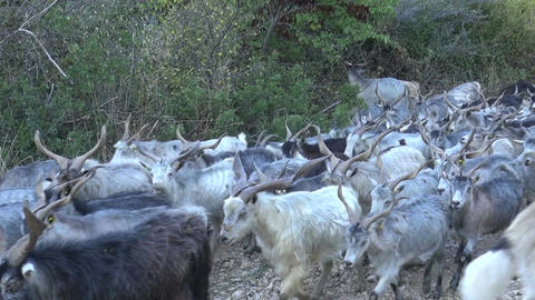 Herd of Goats Footage