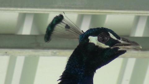 Peacock (2) Footage