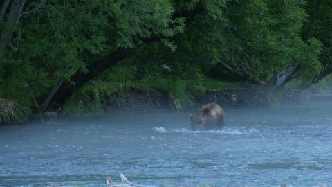 brown beqar catching salmon Footage