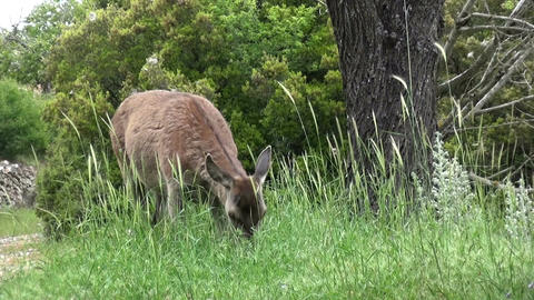 A Deer Is Eating Grasses (1) Footage