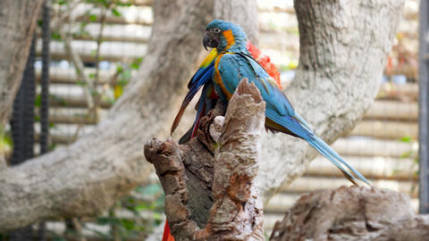 4k video of macaw parrots couple sitting on tree branch and taking care of each Live Action