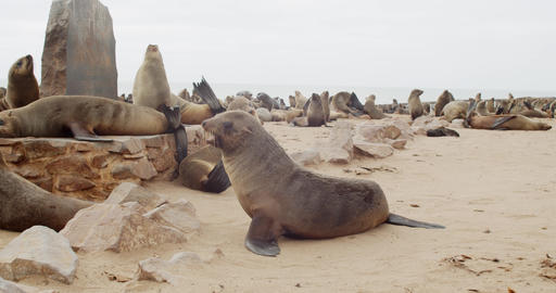 Beautiful wildlife, lots of seals are resting on the beach, walking around, 4k Live Action