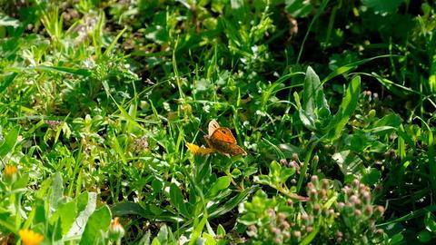 Spring butterfly speyeria aglaja flying over flowers field,nymphalidae insect Acción en vivo