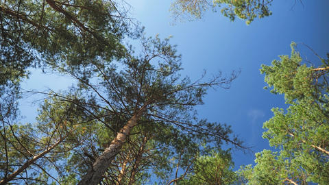 4k video of camera moving bitween high fir trees and spruces in the forest and Live Action