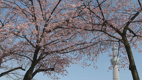 TOKYO SKYTREE and cherry blossoms Live Action
