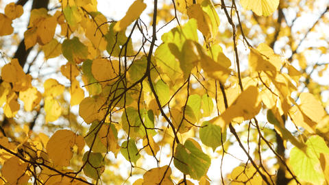 Closeup 4k video of yellow and red tree leaves swaying on the wind against ライブ動画