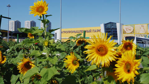 sunflowers near modern agroindustrial trading park building Live Action