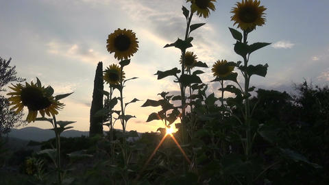 Sunflowers During Nightfall (1) Live Action