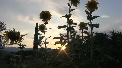 Sunflowers During Nightfall (1) Footage