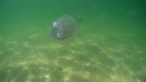 White jellyfish floating in the sea under water Footage