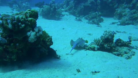 ray is hiding under corals and swims away over a sandy ocean floor Footage