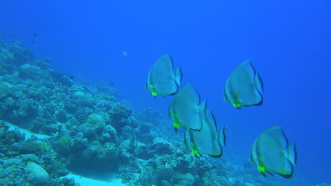 a group of five orbicular bat fish swim through some coral reefs on the bottom o Footage