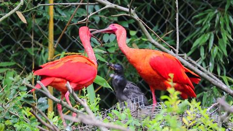 Couple Of Scarlet Ibis Birds Feeding Babies Footage