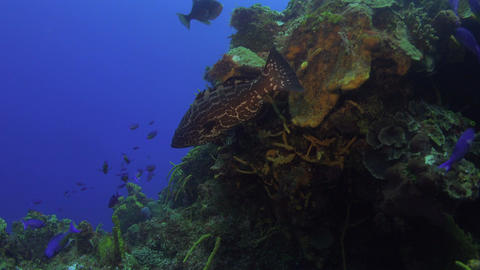 smaller and larger fish swim along some beautiful corals Footage