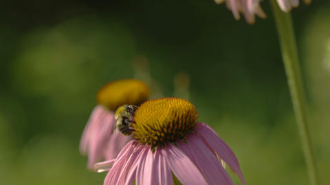 Butterfly and bumblebee on a Echinacea flower Footage
