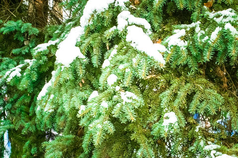Branch of a Firtree covered with snow