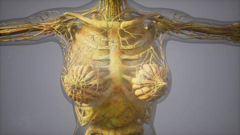 model showing anatomy of human body illustration GIF