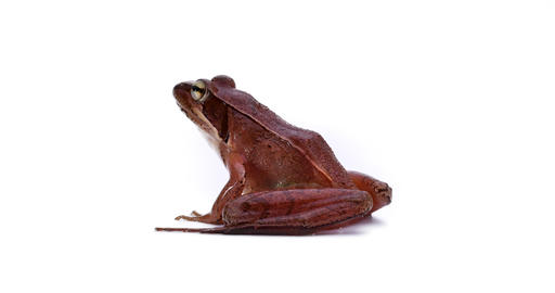 Japanese Brown Frog Live Action