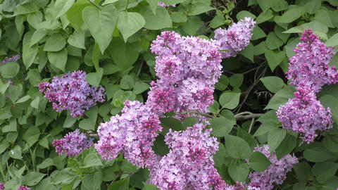 Spring flowers lilac Footage