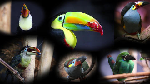 Portraits of Toucans Collage Footage