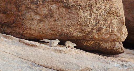 Cute little rodents on the rocks of the Erongo mountain, rock hyraxes, 4k Live Action