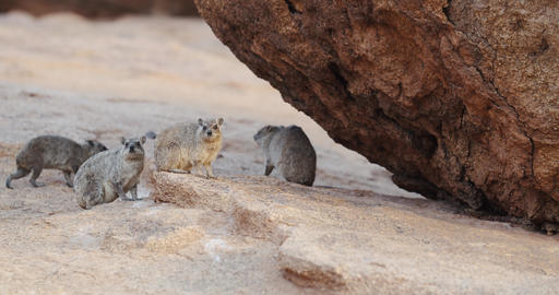 Rock hyraxes on the side of the mountain Erongo in Namibia, 4k Live Action