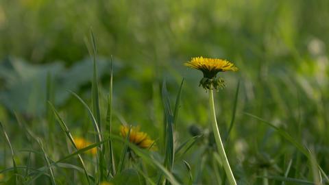 4K Ungraded: Yellow Dandelion Flower Heads Swaying in Wind Footage