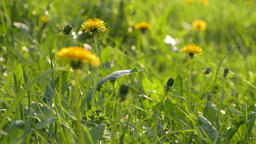 4K Ungraded: Yellow Dandelion Flower Heads Swaying in Wind Live Action