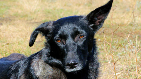 Muzzle of a black dog closeup Live Action