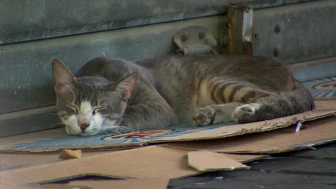 Feral Stray Cat Sleeping on a Cardboard in the Market Stock Video Footage