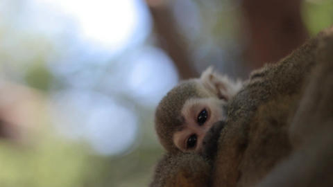 A Baby Squirrel Monkey on the Back of His Mother Live Action