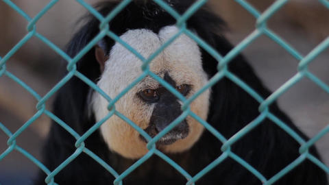 Saki Monkey Seats Inside His Cage in a Monkey Sanctuary Footage